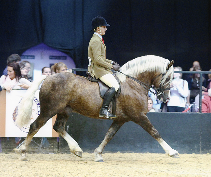 Palomino Welsh cob stallion HOYS Penclose Maestro.