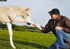 Palomino Welsh Cob filly foal, Aberaeron Briallen.