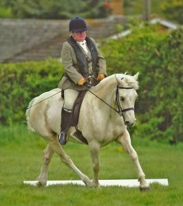 Palomino Welsh Cob mare, dressage, Aberaeron Blodyn Tatws.