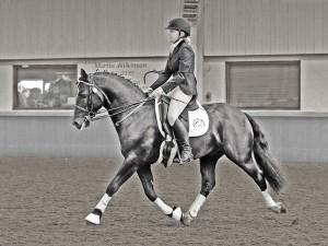Welsh Cob Stallion specialising in dressage - Aberaeron Rhodri.
