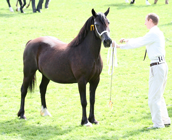 Aberaeron Black Bess, Welsh Cob mare. Seen here at the Royal Welsh Show, 2011.
