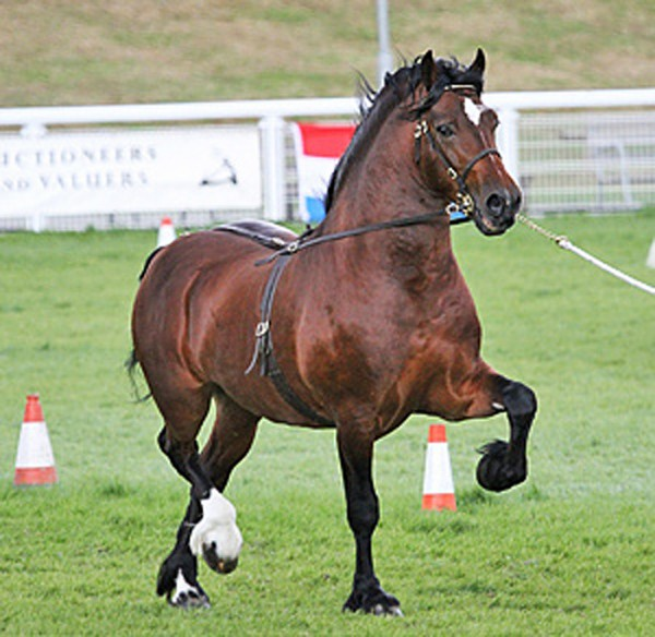 Cruglwyd Guto, Welsh Cob stallion, WPCS medal winner.